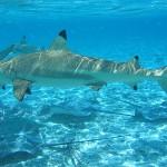 Haifisch- und Rochenfütterung