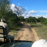 """Zebras auf der """"Straße"""""""