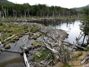 Biberbau im Tierra del Fuego National Park