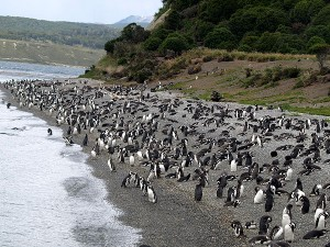 Pinguinera auf Feuerland