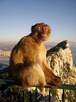 Berberaffe auf Gibraltar