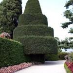 Tannenbaum auf der Isola Bella