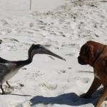 Pelikan gegen Hund