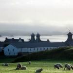 Schafe vor der Ardbeg Distillery, Islay