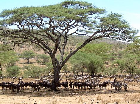 Die Mittagshitze der Serengeti