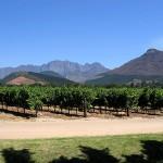 Weinreben in den Winelands