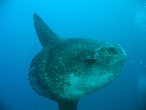 """Mondfisch, auch """"Mola Mola"""" oder """"Sun Fish"""" genannt"""