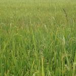 Reisfeld im Mekong-Delta