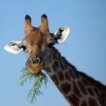Giraffensnack im Etosha Nationalpark