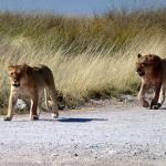 Löwen auf der Straße