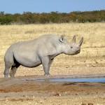 Nashorn am Wasserloch im Etosha Nationalpark