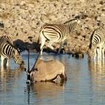 Oryx Antilope und Zebras am Wasserloch