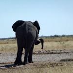 Rüsselpause im Etosha Nationalpark