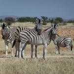 Süße Zebras im Etosha Nationalpark