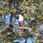 Adler am Chobe Ufer