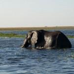 Elefant beim schwimmen im Chobe River