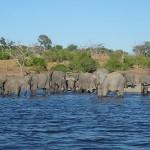 Elefantenherde beim baden