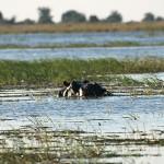schwimmendes Nilpferd