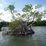 Mangroveninsel