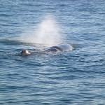 Wal beim blasen