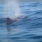 Wal Atmung
