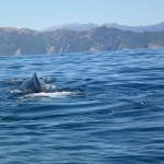 Wal vor dem abtauchen